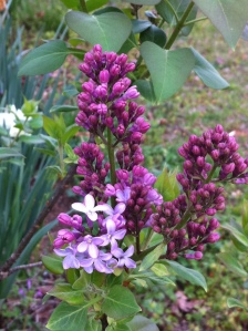 Grandmother's Lilac