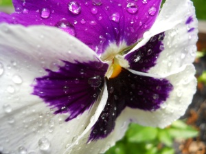 A Pansy in the Rain
