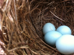 Baby blue eggs in a nest