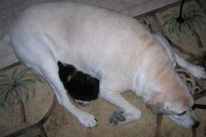Tiny kitten curled up in the crook of a labrador retriever's leg