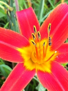 Bug on the daylily